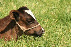 Calf With a Halter Royalty Free Stock Images