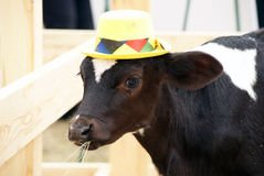 Calf in a hat. Young bull in a hat Royalty Free Stock Photography