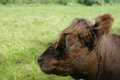 Calf head munching on grass Stock Images