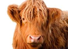 Calf of Highland Royalty Free Stock Image