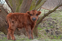Calf of a highland cow Royalty Free Stock Photography