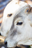 Calf Royalty Free Stock Image