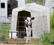 Calf In A Cage Royalty Free Stock Image