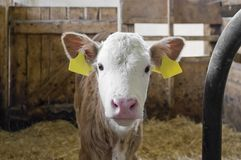 Calf inside of a cow barn Royalty Free Stock Photography
