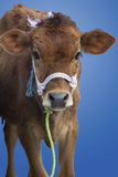 Calf Isolated Royalty Free Stock Photos
