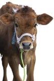 Calf Isolated Stock Photos