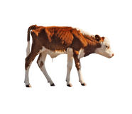 Calf isolated on white. Side view of calf isolated on white background stock photography
