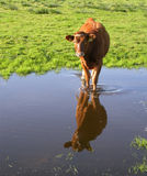 Calf and its Reflection Royalty Free Stock Photo