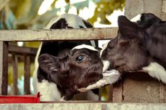 Calf Kissing stock images