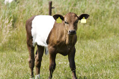 Calf lakenvelder Stock Photography