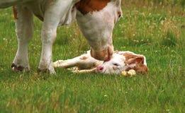 Calf_licking imagens de stock