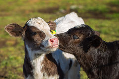Calf licking other calf`s ear Stock Photography