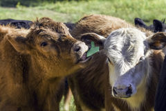 Calf licking other calf's ear Stock Photography