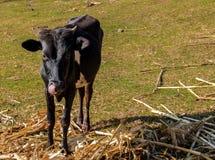 Calf. Licking it's nose while zero grazing in Kisii-Kenya Royalty Free Stock Photos