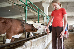 Calf licks hand girl in stall on farm Stock Photo