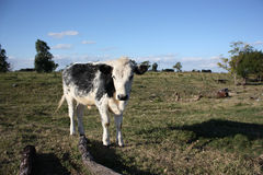 Calf in a little farm Stock Images