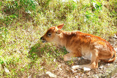 Calf. Little calf resting in the wild Stock Photography
