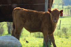 Calf Looking at Camera Royalty Free Stock Image