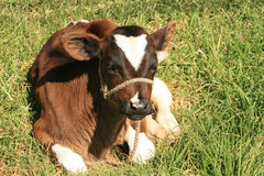 Calf Lying Down Royalty Free Stock Images
