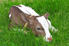 Calf  lying on green grass. Stock Photography
