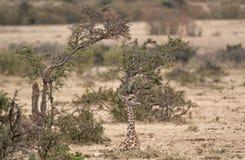 Calf of  Masai Giraffe. Masai Giraffe (Giraffa camelopardalis tippelskirchi) calf resting in bushes ,  Masai Mara Natinal Reserve, Kenya Royalty Free Stock Photo