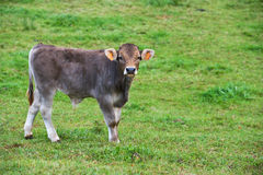 Calf in the meadow. Young cow in green pasture royalty free stock image