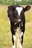 Calf at a meadow Stock Photos