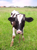 Calf at a meadow Stock Photo