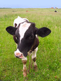 Calf at a meadow Royalty Free Stock Photography
