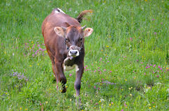 Calf in the meadow Stock Images