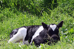 Calf in a meadow. photo Royalty Free Stock Image