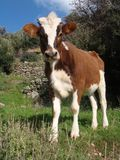 Calf in a meadow Stock Images