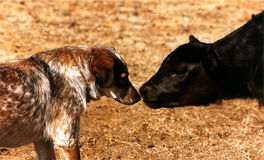Calf Meets Dog stock photo