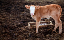 Calf in middle of feedlot manure, next to tub for water. Stock Images