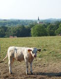 Calf molested by flies. In the pasture, from which is a view of the old catholic church and the countryside stock photography