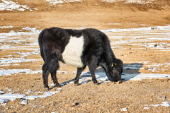 Calf Mongolian yak black-and- white color Royalty Free Stock Image