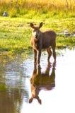 Calf moose Stock Photo