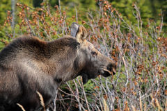 Calf Moose Royalty Free Stock Images