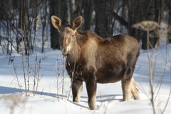 A calf moose waits for mom Stock Images
