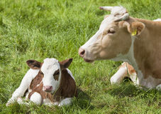 Calf with mother Royalty Free Stock Photos