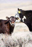 Calf with mother Stock Photo