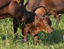 Calf and Mother Cow. A newborn Red Devon breed calf and her mother in a field Royalty Free Stock Photography