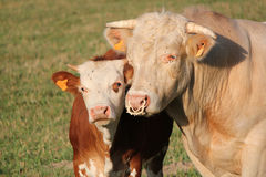 Calf and mother cow together Royalty Free Stock Photography