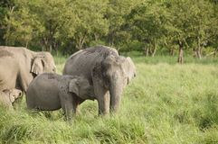 Calf and mother elephants Stock Photography