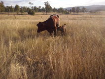 Calf and Mother. A week old calf stays close to her mother as she grazes Royalty Free Stock Photo