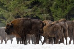 Calf and mother of wild European brown bison bison bonasus in winter pine forest. Female of adult aurochs wisent feeds. Calf and mother of wild European brown Royalty Free Stock Photos