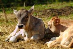 Calf. A calf in mountain during summer Royalty Free Stock Photo