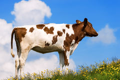 Calf on a Mountain Summer Pasture Stock Photo