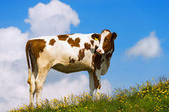 Calf on a Mountain Summer Pasture Royalty Free Stock Photos