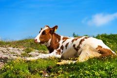 Calf on a Mountain Summer Pasture Royalty Free Stock Photos